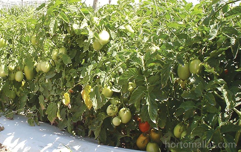 HORTOMALLAS-tomate-jitomate-y-tomatillo-con-malla-espaldera